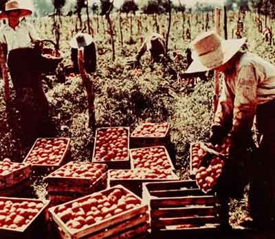 La raccolta del pomodoro nel Parmense nei primi anni Cinquanta